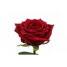 Розы чайно-гибридные: посадка и уход