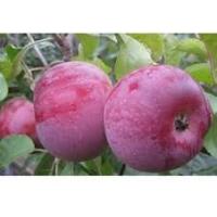 Яблоня Виста Белла