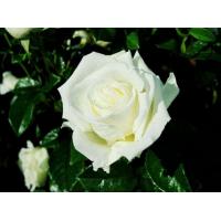Роза Жанна Моро (Jeanne Moreau)(чайно-гибридная)