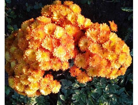 Хризантема Бран Бич Оранж (Мультифлора/Оранжевая)