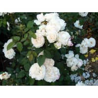 Роза Франсин Остин (штамбовая)