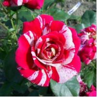 Роза Твист (плетистая)