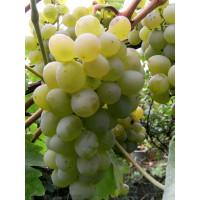 Виноград Валек (Ранний/Белый)