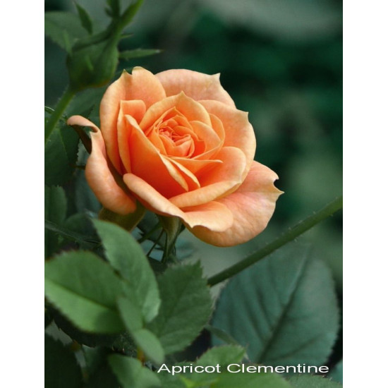 Роза Clementinte (Клементина) (спрей)