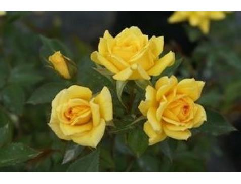 Роза Yellow Eveline (Йеллоу Эвелин) (спрей)