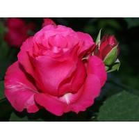 Роза Джиральдо(чайно-гибридная)