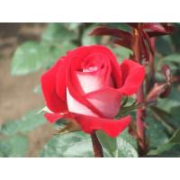 Роза Латин Леди(чайно-гибридная)