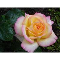 Роза Глория Дей(чайно-гибридная)