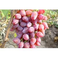 Виноград Виктор-3 (Поздний/Розовый)