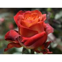 Роза Кофе Брейк(чайно-гибридная)