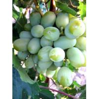 Виноград Алекса - Кишмиш (Средний/Белый)