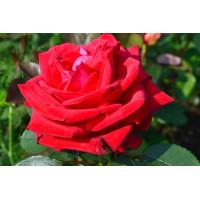 Роза Софи Лорен(чайно-гибридная)