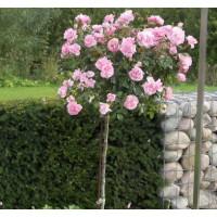 Комплект 3 саженца Роза Боника (штамбовая)