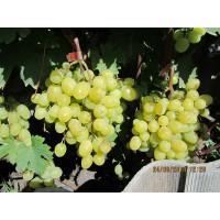Виноград Камилла (Ранний/Белый)