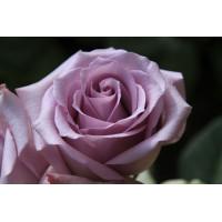 Роза Ocean Song (Оушен Сонг)(чайно-гибридная)