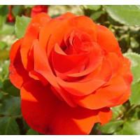 Комплект 3 саженца Роза Ремембрэнс (штамбовая)