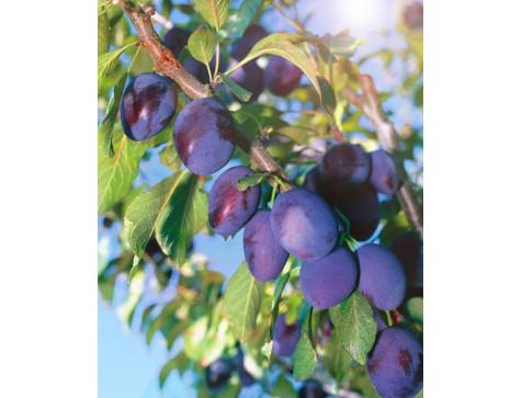 Слива Уральский Чернослив (Ранняя/Фиолетовая)